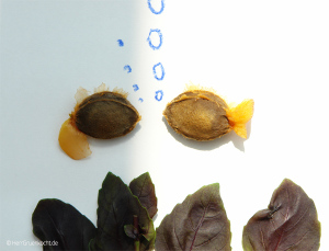 Aprikosenfisch