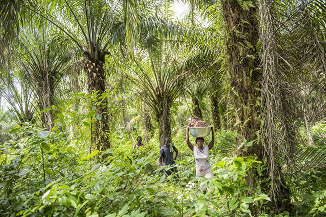 Ein Palmfeld in Ghana. Die Palmen, von denen das Bio-Palmöl für bionella stammt, wachsen nicht in Mono-, sondern in Mischkulturen, auf Flächen, die schon seit Generationen landwirtschaftlich genutzt werden.